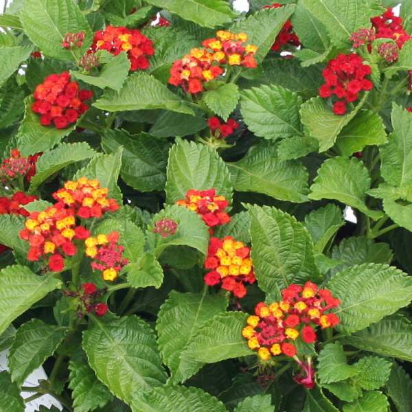 Image Of Lantana Red Compacta