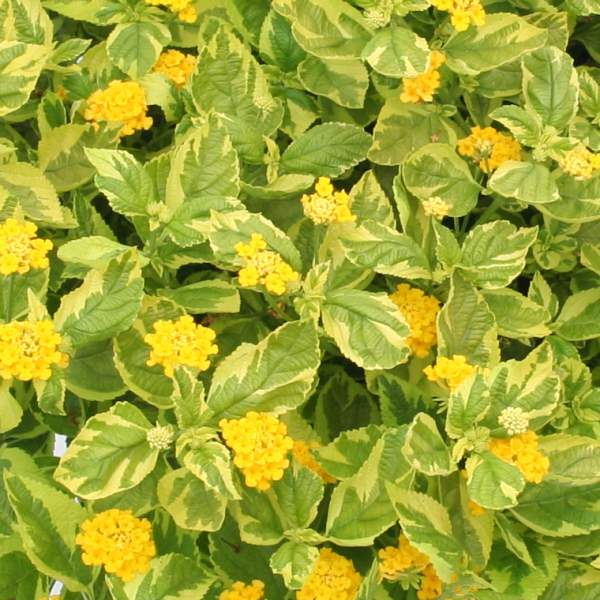 Image Of Lantana Samantha