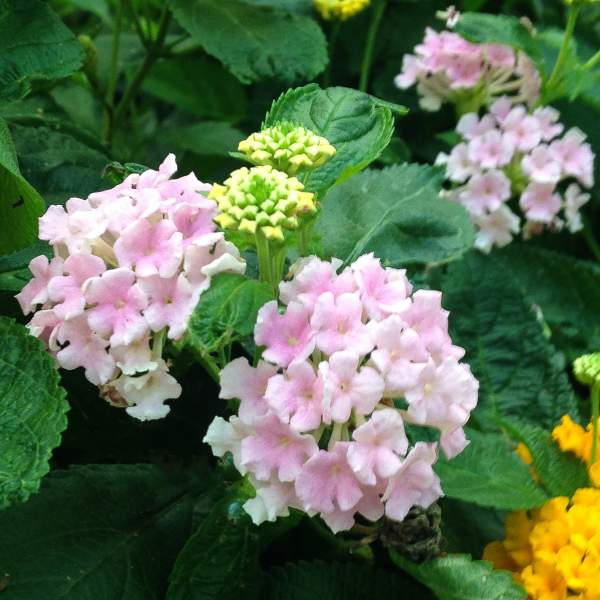 Lantana Soft Pink - Rooted Cutting Liner