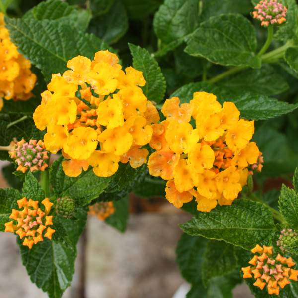 Lantana Spreading Gold - Rooted Cutting Liner