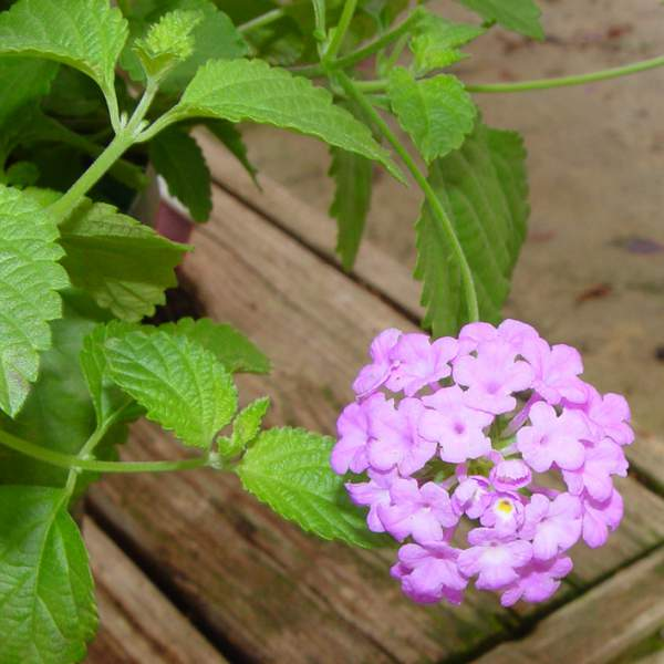Lantana Trailing Lavender - Unrooted Cuttings