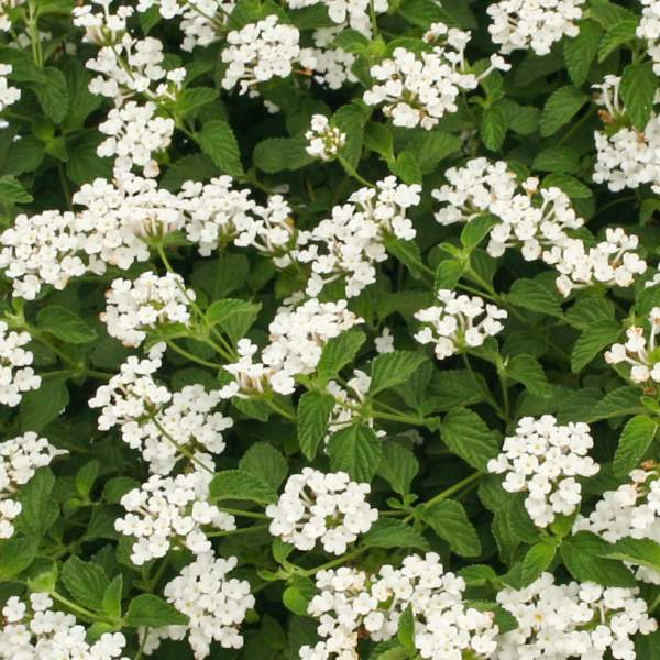 Lantana Trailing White - Rooted Cutting Liner