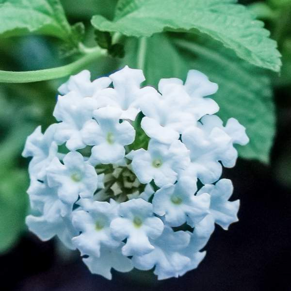 Lantana Upright White - Rooted Cutting Liner