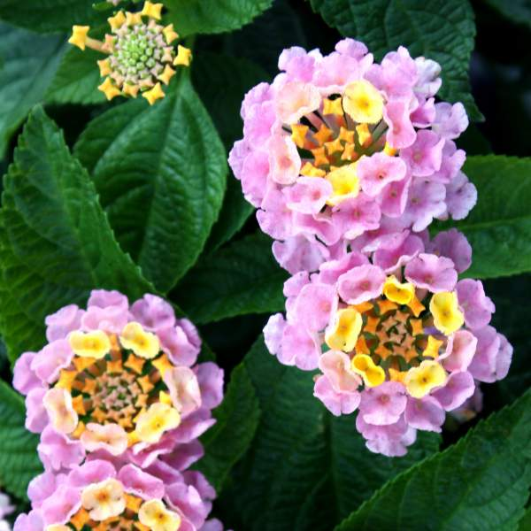 Image Of Lantana Wagon Wheel Pink