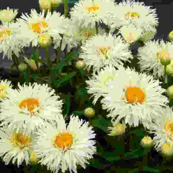 Image Of LEUCANTHEMUM COCONUT