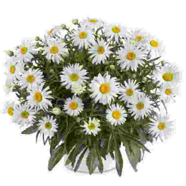 Image Of Leucanthemum Lucille Grace