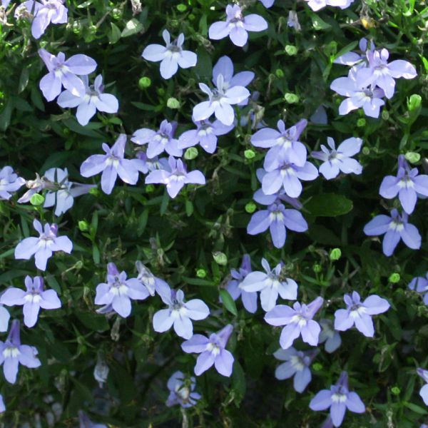 Image Of Lobelia Trailing Baby Blue