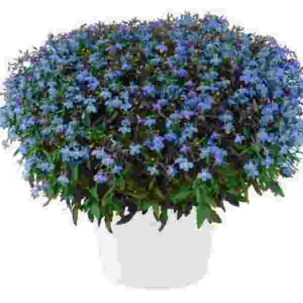 Lobelia Glow Electric Blue - Rooted Cutting Liner