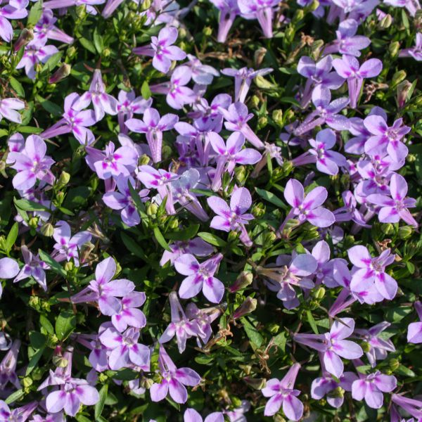Lobelia Trailing Lavender Pink - Rooted Cutting Liner