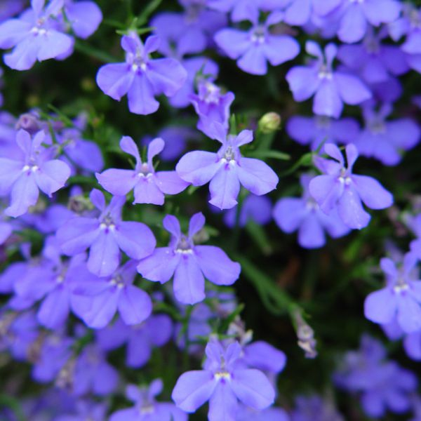 Image Of Lobelia Trailing Midnight Blue