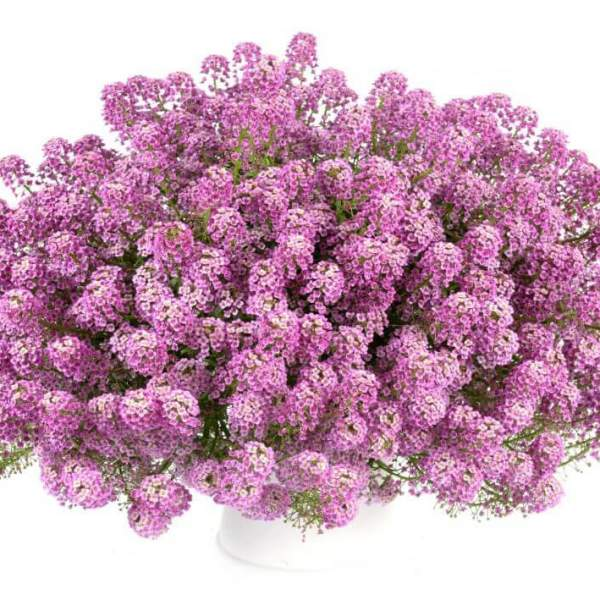 Lobularia Alyssum Lilac Stream - Rooted Cutting Liner