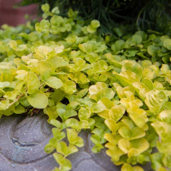 Lysimachia Golden - Rooted Cutting Liner