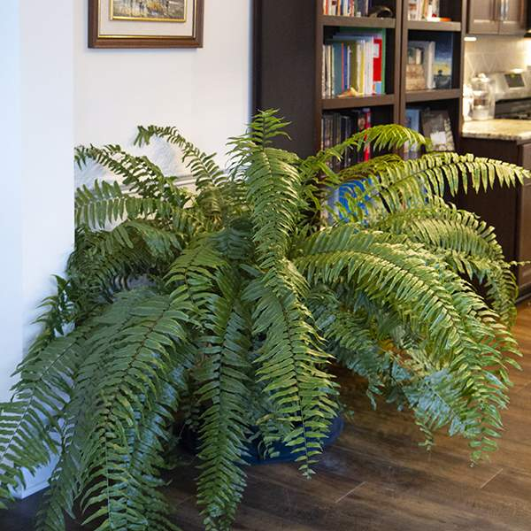 Image Of Fern Macho Fern