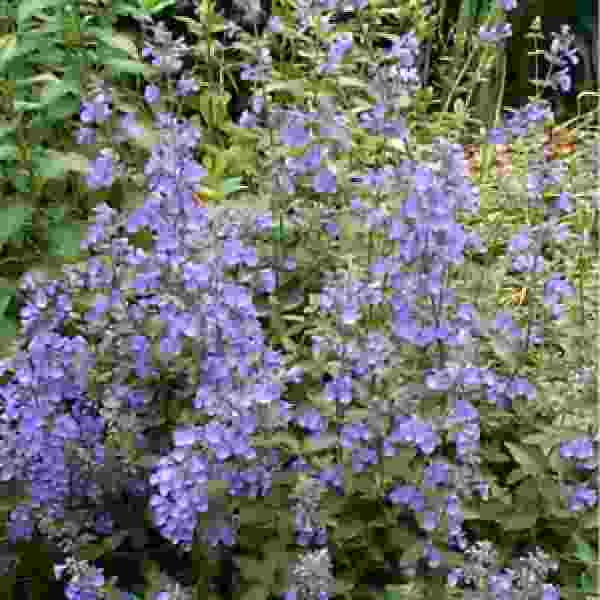 Image Of Nepeta Faassenii Walkers Low