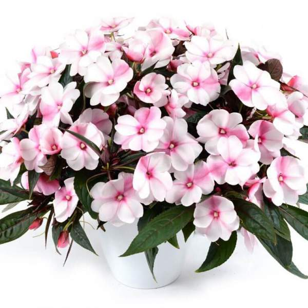 New Guinea Impatiens Harmony Blush