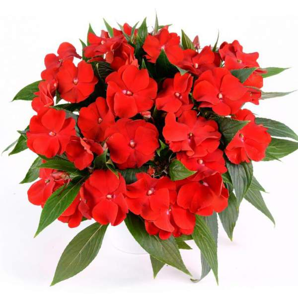 New Guinea Impatiens Harmony Bold Red - Rooted Cutting Liner