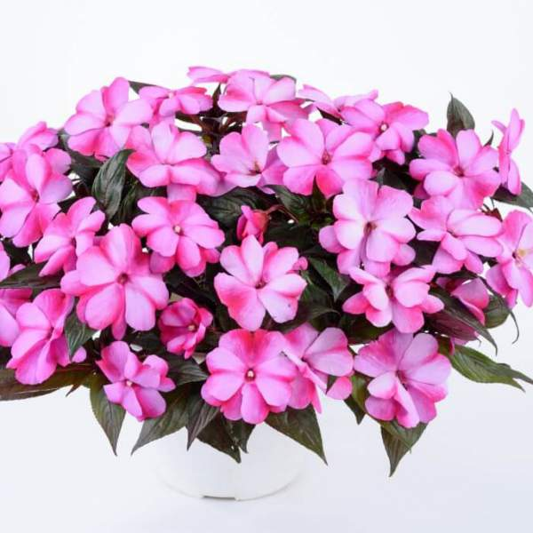 New Guinea Impatiens Harmony Bubblegum