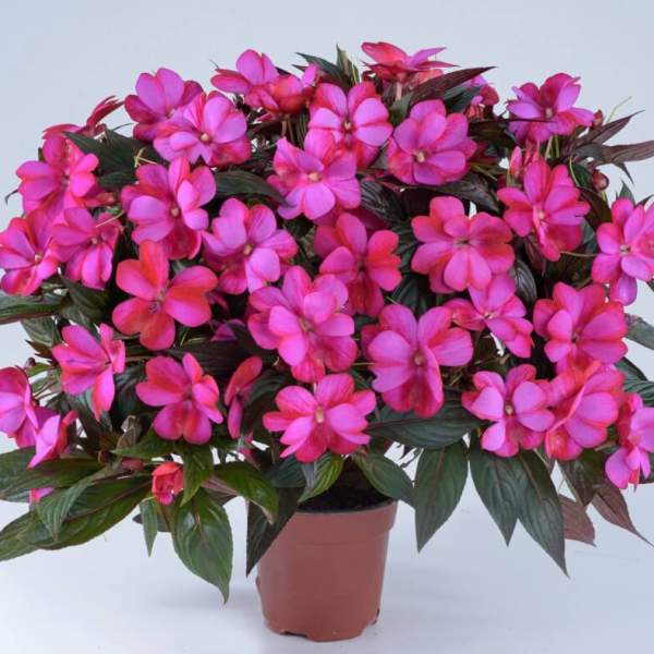 New Guinea Impatiens Harmony Pitaya Cream - Rooted Cutting Liner
