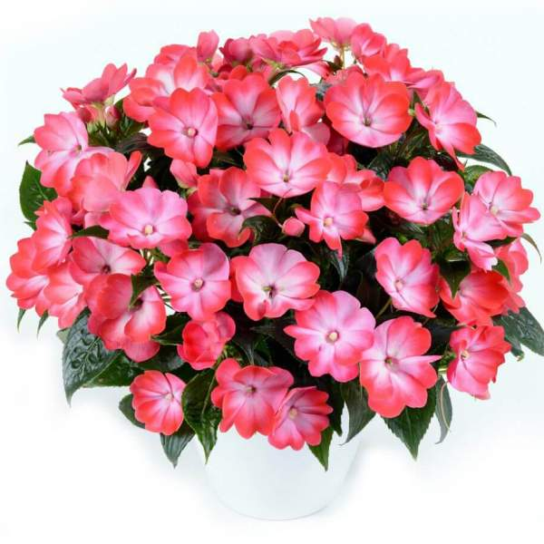 New Guinea Impatiens Harmony Radiance Hot Pink