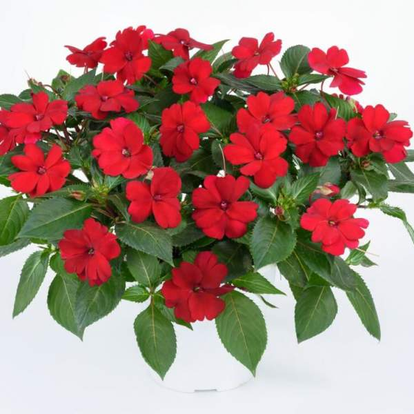 New Guinea Impatiens Sun Harmony Red - Rooted Cutting Liner