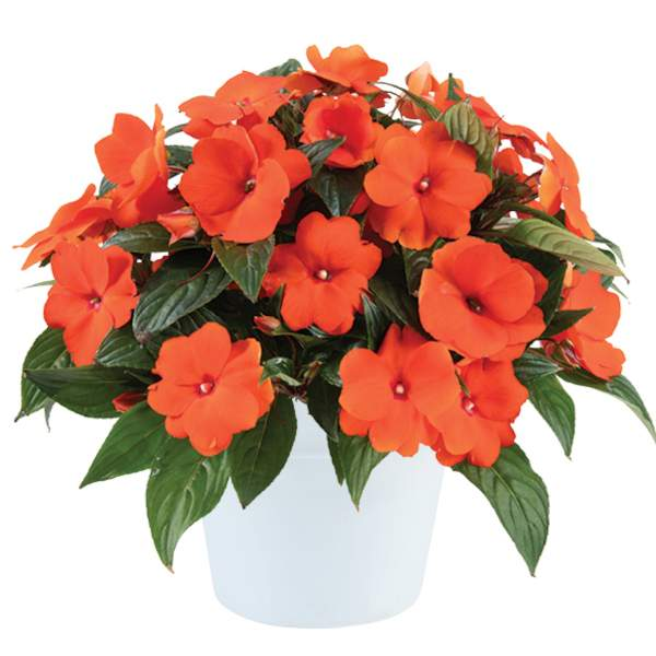 New Guinea Impatiens Harmony Fire