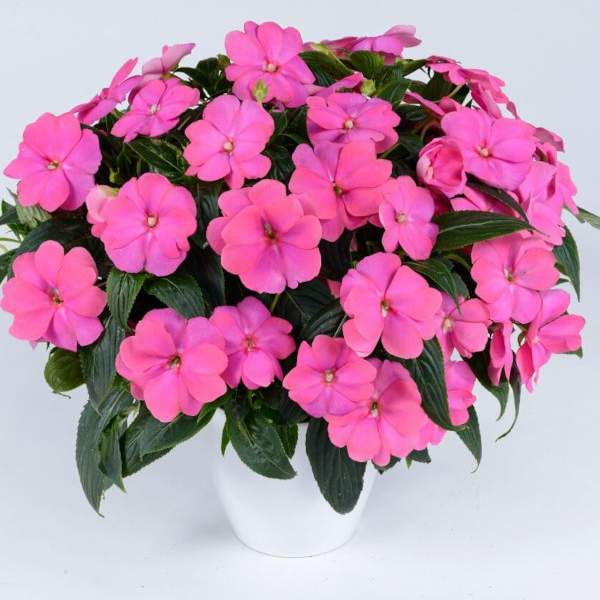New Guinea Impatiens Harmony Perfect Pink