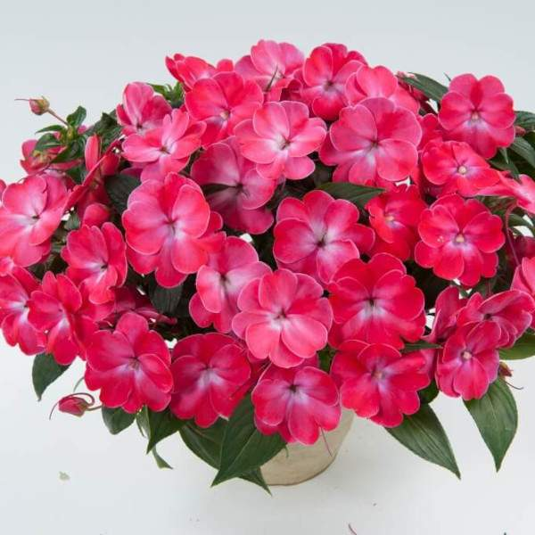 New Guinea Impatiens Harmony Sweetheart Rose