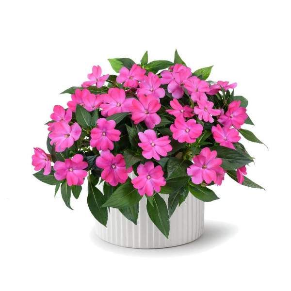 New Guinea Impatiens Sun Harmony Vivid Pink - Rooted Cutting Liner