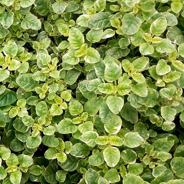 Oregano Variegated - Rooted Cutting Liner