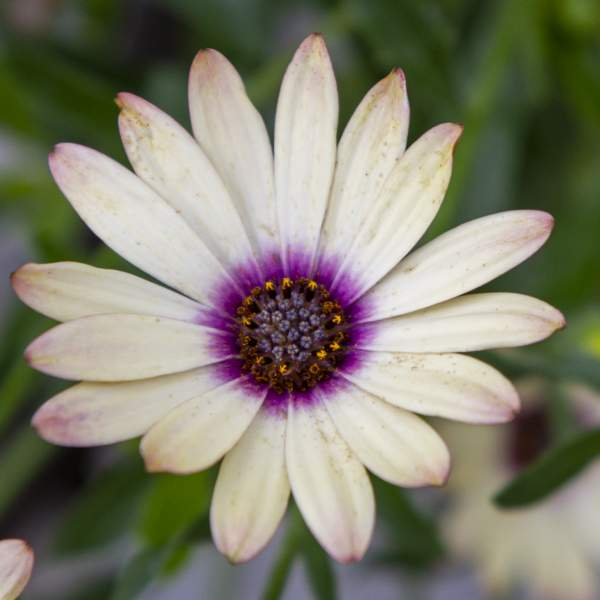 Image Of Osteospermum Blushing Yellow