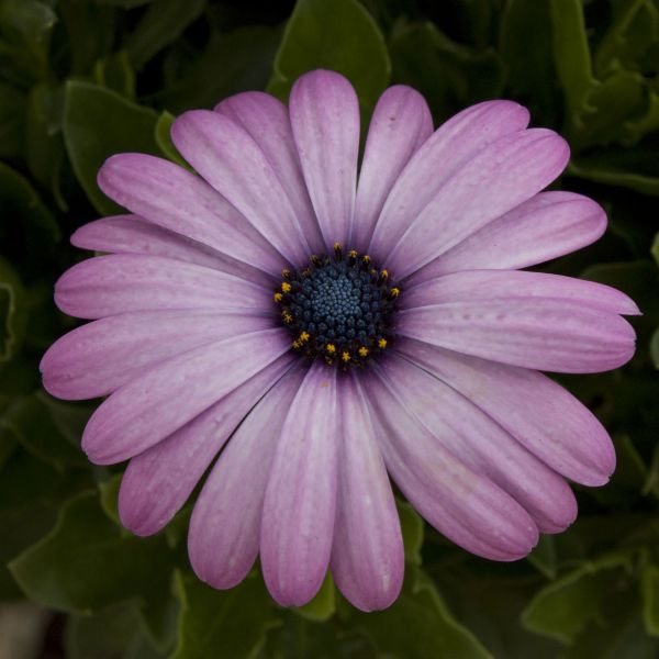 Osteospermum Lavender - Rooted Cutting Liner