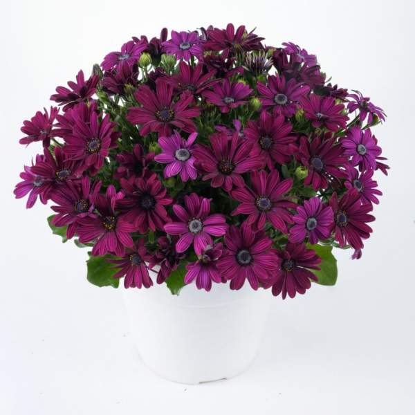 Osteospermum Ostica Midnight - Rooted Cutting Liner