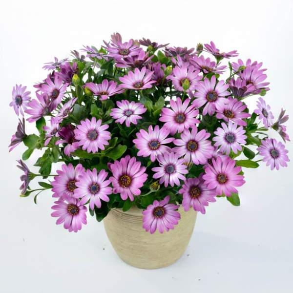 Osteospermum Ostica Pink Blush - Rooted Cutting Liner