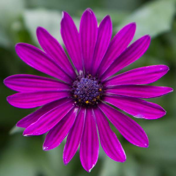 Osteospermum Purple - Rooted Cutting Liner