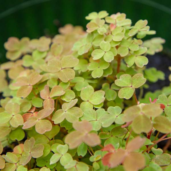 Image Of OXALIS GOLDEN