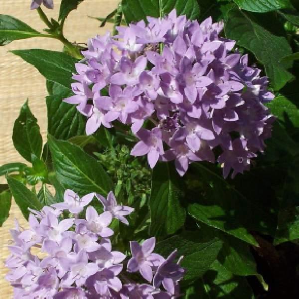 Image Of Penta Lanceolata Compact Lavender