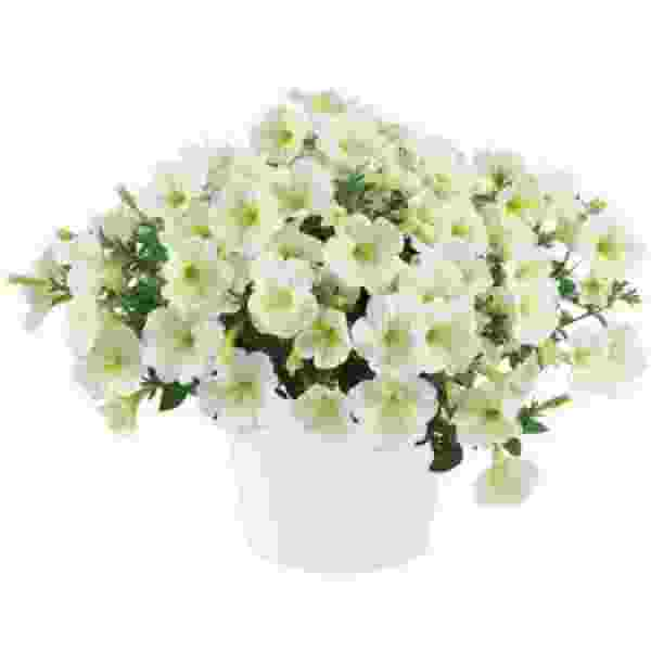 Petunia Cascadia Hint Of Lime