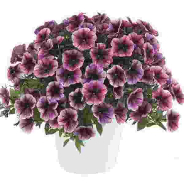 Petunia Cascadia Purple Ice - Rooted Cutting Liner