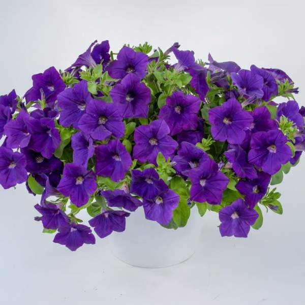 Petunia Cascadia Blue Omri - Rooted Cutting Liner
