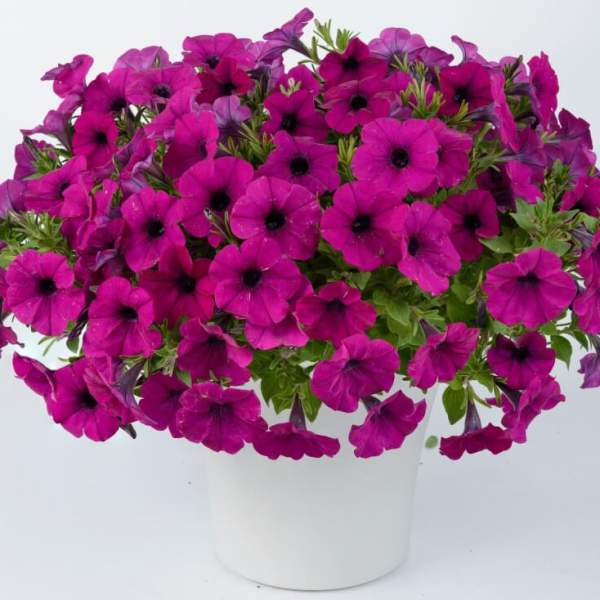 Image Of Petunia Cascadia Passion