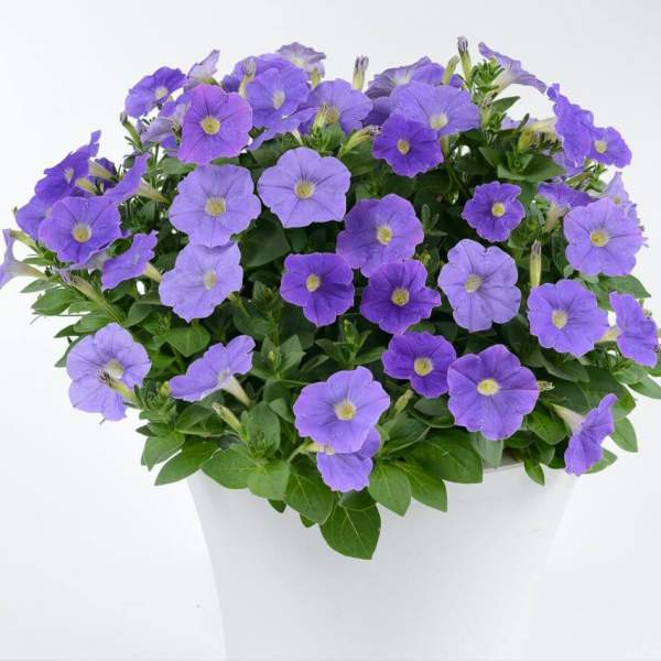 Petunia Ray Classic Blue - Rooted Cutting Liner