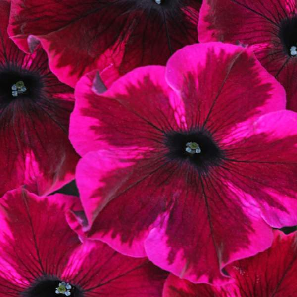 Image Of PETUNIA CRAZYTUNIA COSMIC PURPLE