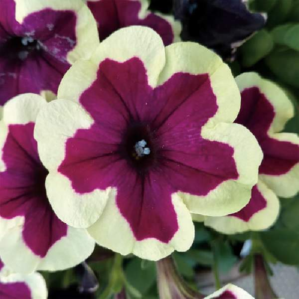 Petunia Crazytunia French Kiss - Rooted Cutting Liner