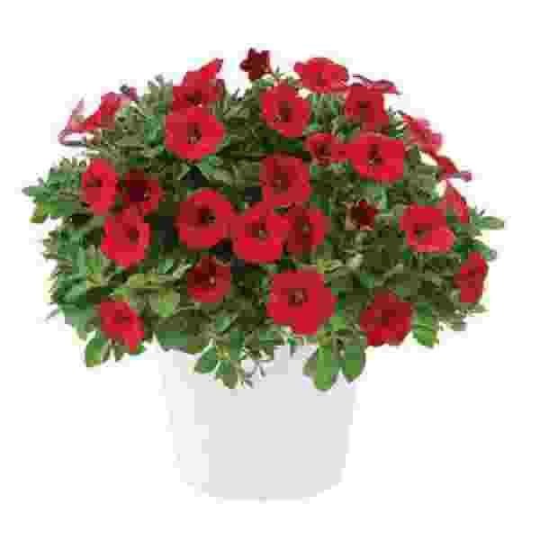 Petunia Littletunia Bright Red