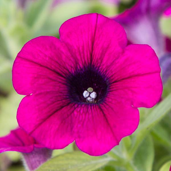 Image Of Petunia Mini Purple