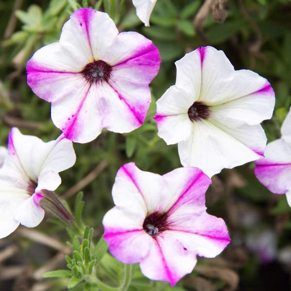 Image Of Petunia Mini Yang White