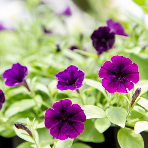 Image Of Petunia Nano Imagination Dufflepuds
