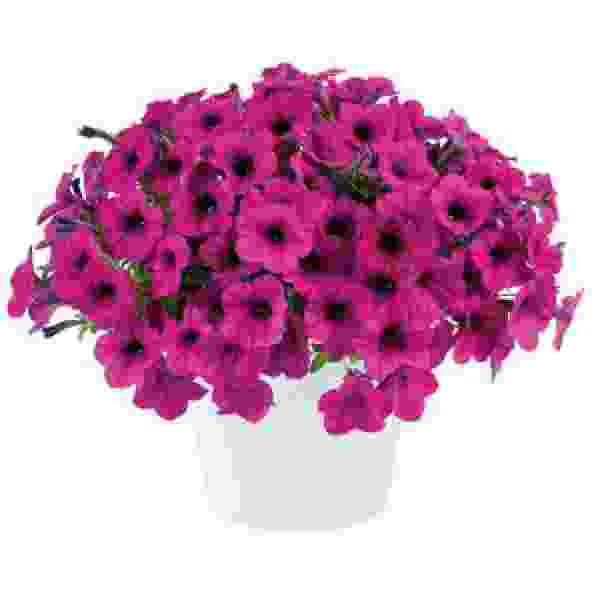 Petunia Ray Fuchsia - Rooted Cutting Liner