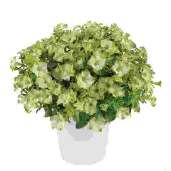 Petunia Ray Pistachio Cream