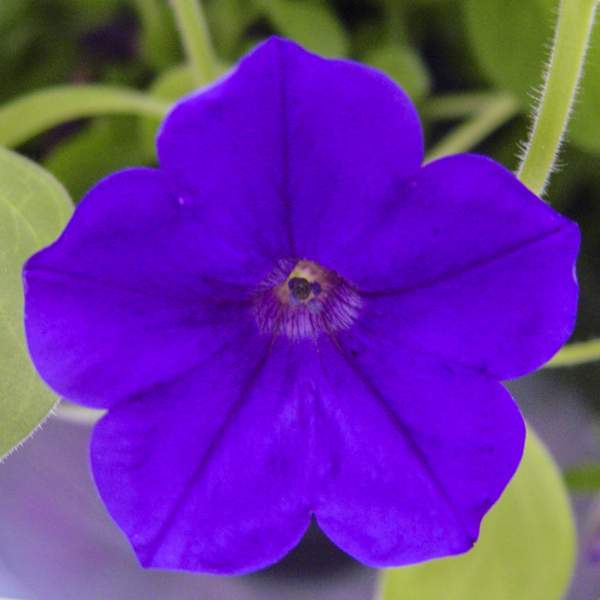 Petunia Trailing Blue Velvet - Rooted Cutting Liner